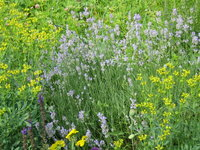 Рута пахучая - Июль. Цветение руты и лаванды