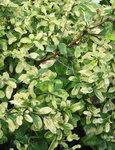 Спирея ниппонская GerlvesRainbow - Окраска листьев в августе