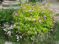 Спирея японская Gold Mound - Начинает цвести в конце июня