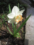 Нарцисс - Spring Pride