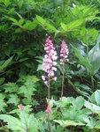 Гейхера Strawberry Swirl - Цветение
