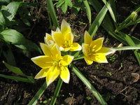 Тюльпаны ботанические - Tarda Dasystemon
