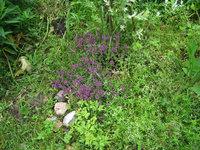 Тимьян ползучий - Начинает цвести в июне