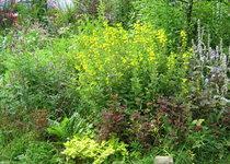 Вербейник точечный - То же растение в конце июля