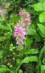 Вероника Розовая - Маленькие розовые колоски