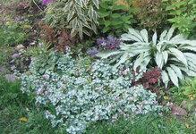 Яснотка крапчатая Beacon Silver - Повторное цветение в сентябре
