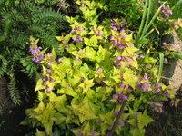 Яснотка крапчатая Aureum - Цветение в июне