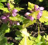 Яснотка крапчатая Aureum - Цветы на солнце розовые