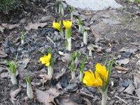 Крокусы весеннецветущие - Yellow Mammos