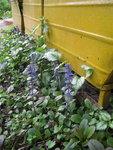 Живучка ползучая Atropurpurea - Цветение в конце мая